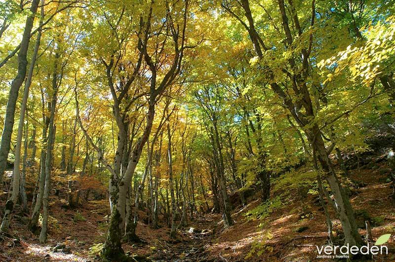 Bosques primarios de hayas de los Cárpatos y de otras regiones de Europa