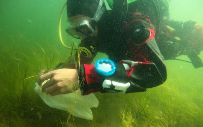 Hiilinieluja etsitään myös meriltä – Metsähallitus ja WWF ennallistavat meriajokasniittyjä