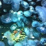 Ein Quallen-Aquarium!