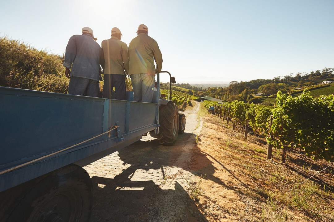 Vineyard workers on a truck
