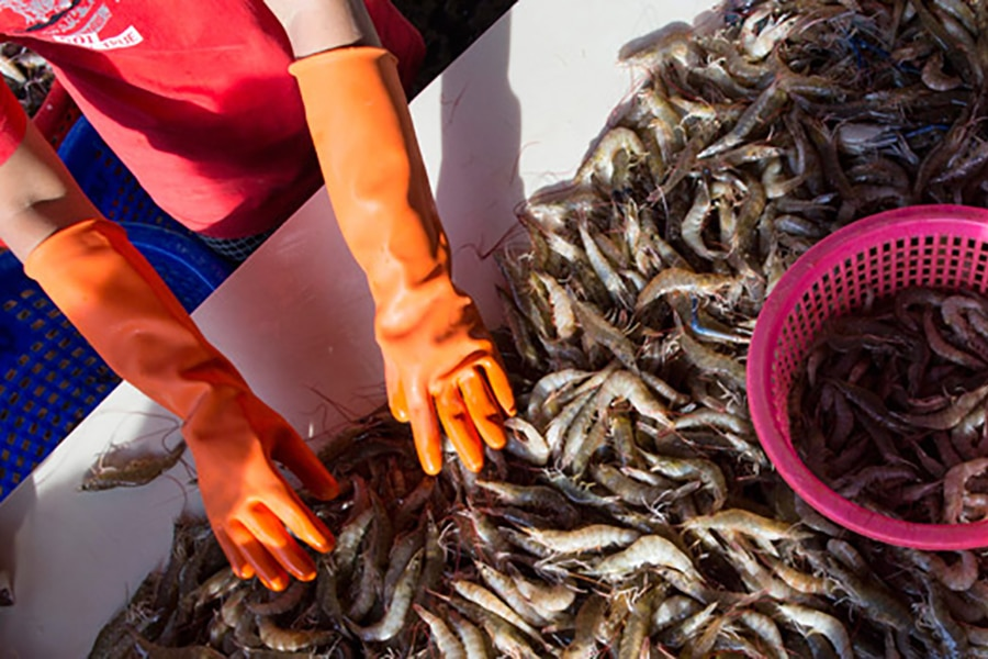 A worker sorts shrimp, image by the Associated Press
