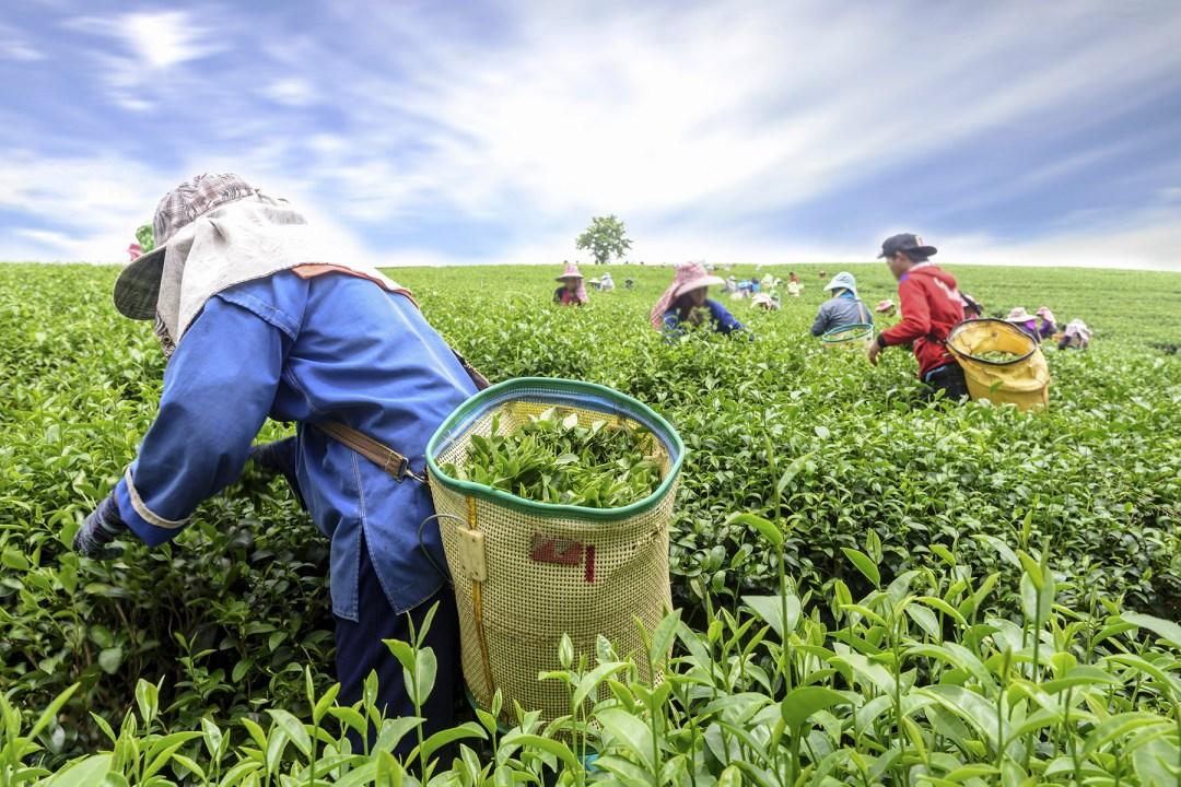 Workers picking tea leaves