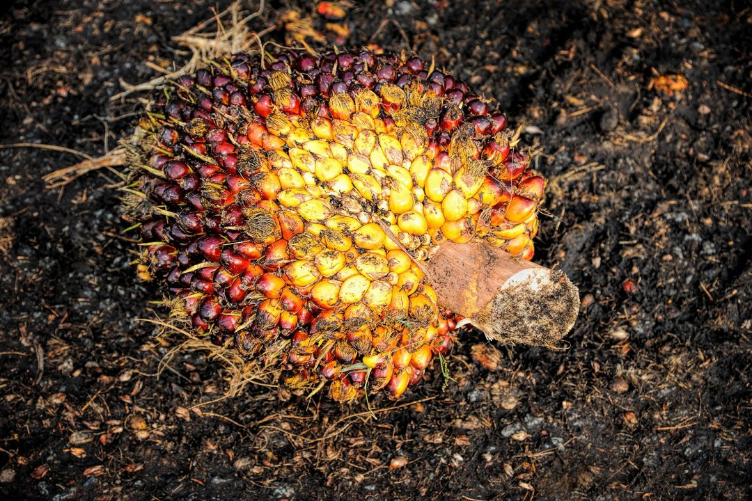 Palm fruit on the ground