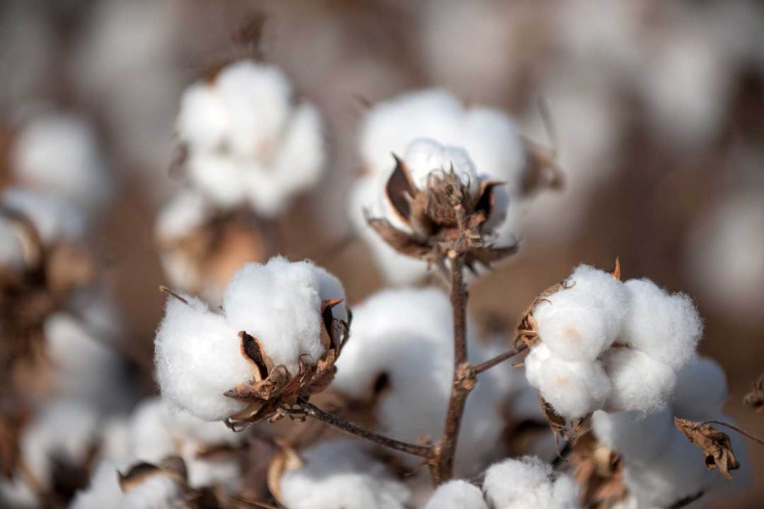 Close up of cotton
