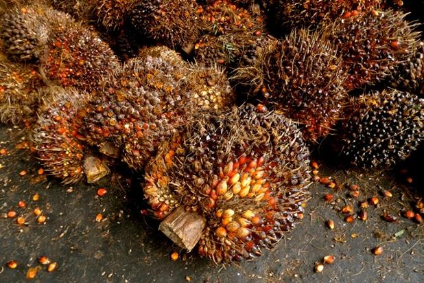 Palm Oil Plants in Ecuador