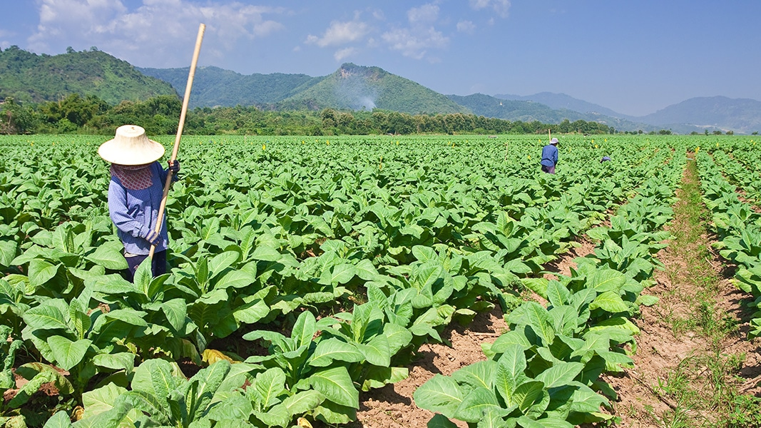 Tobacco Farmers in a Field