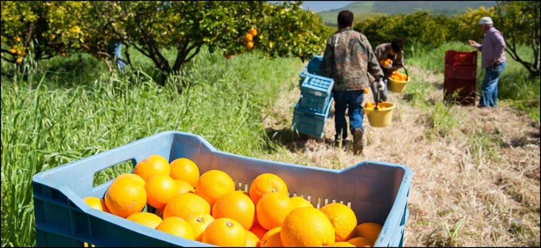 Workers picking oranges