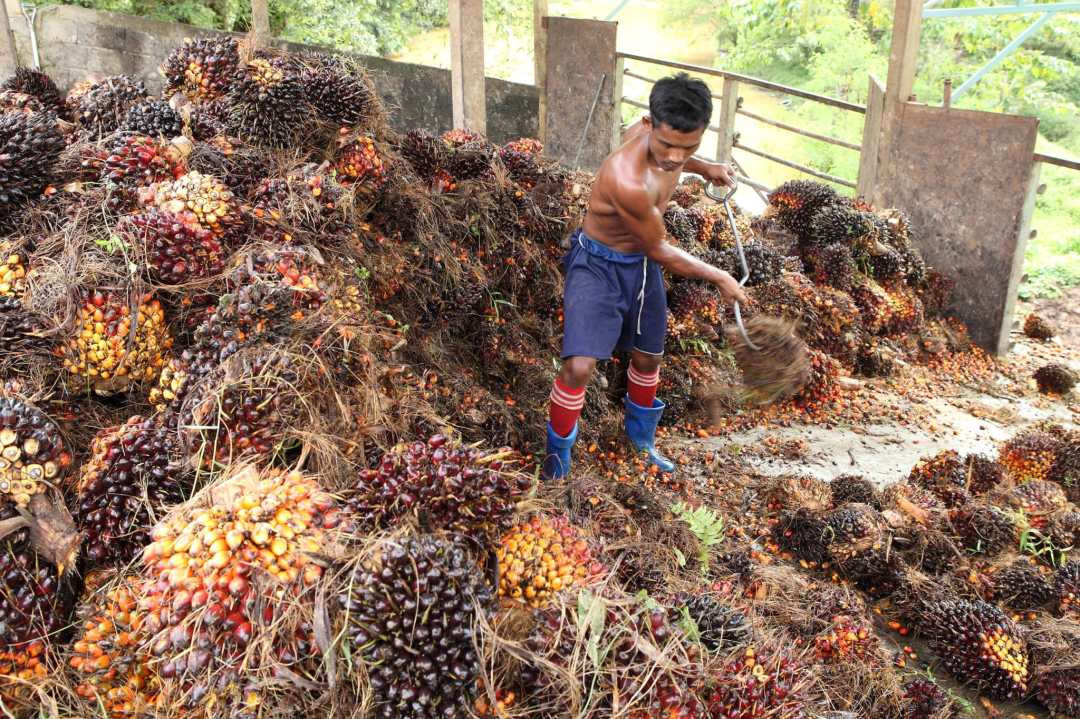 A palm oil plantation worker rakes palm plants