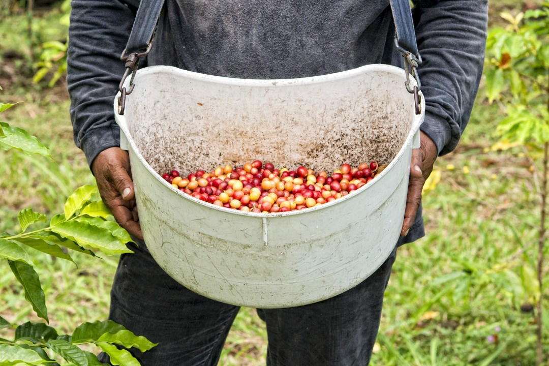 A worker collects coffee cherries in a basket