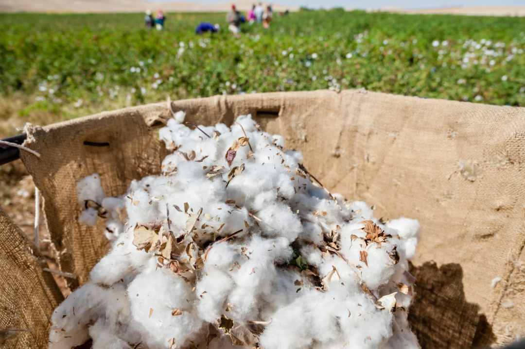 Collecting cotton