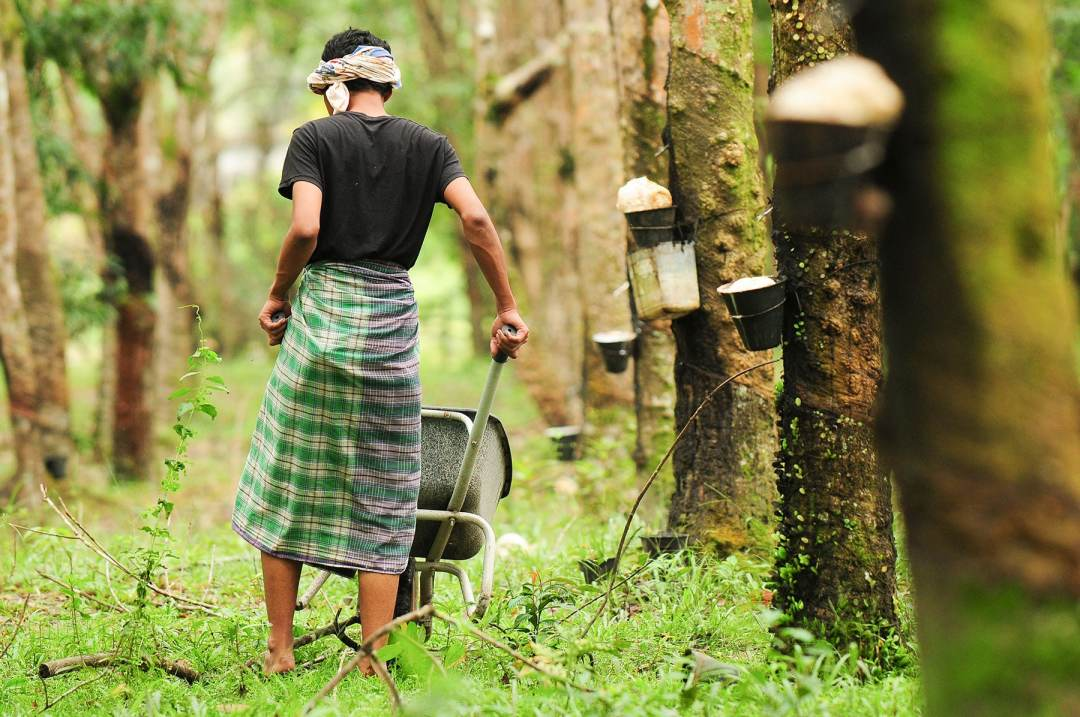 Rubber worker collecting sap