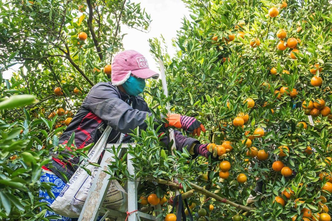 A worker picking oranges