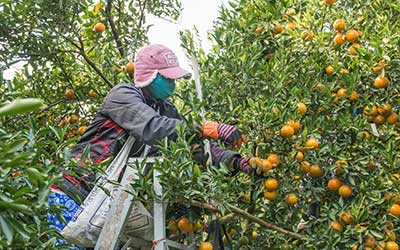 Training Page Image 1: Worker Picking Oranges