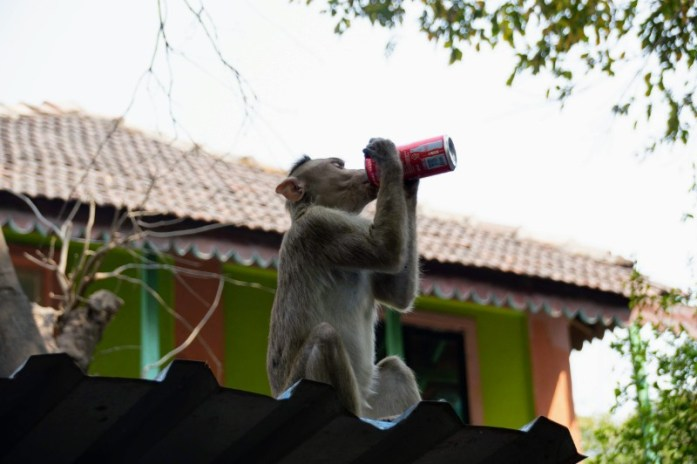 rhesus macaque Monkey Sipping Coke on Elephanta Island India. Veritru - The Day I Got My Ice-Cream Stolen By A Monkey