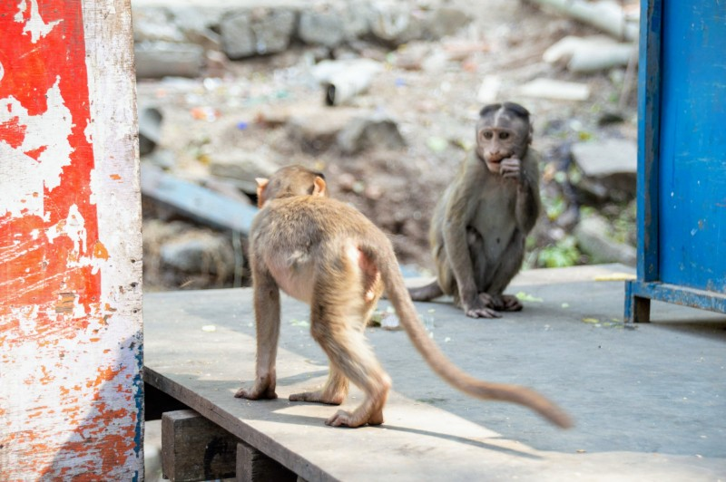 Baby rhesus macaque monkeys playing on Elephanta Island India. Veritru - The Day I Got My Ice-Cream Stolen By A Monkey