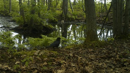 An American Crow struts the banks of a pool. Additional photos taken by our motion-sensor trail camera show this crow scratching through the fallen leaves. Photo credit: Pools and People Trail Camera