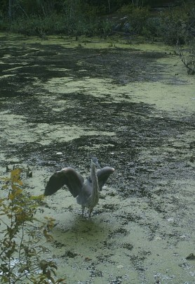 A Great Blue Heron stretches its wings for our trail camera. Since fish do not live in these pools if the heron is searching for a meal perhaps bugs or amphibians are on the menu! Photo credit: Pools and People Trail Camera