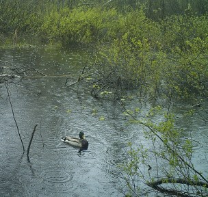 A Mallard floats on a vernal pool during a rainstorm. Mallard ducklings were observed at several pools near urban areas. Photo credit: Pools and People Trail Camera
