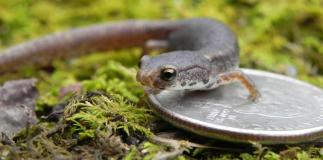 Four-toed Salamanders