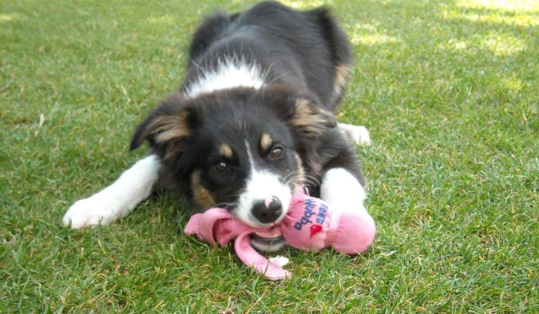 Veronadogs un cucciolo che gioca
