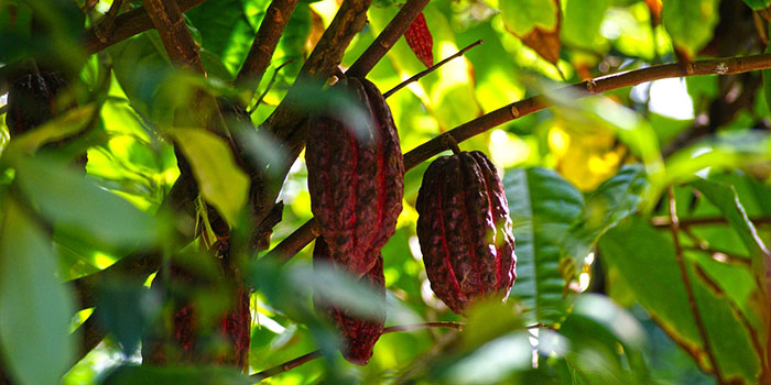 Prevailing challenges in cacao farming industry