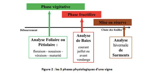 Les 3 phases physiologiques de la vigne