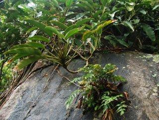 Hasil gambar untuk Epipremnum giganteum
