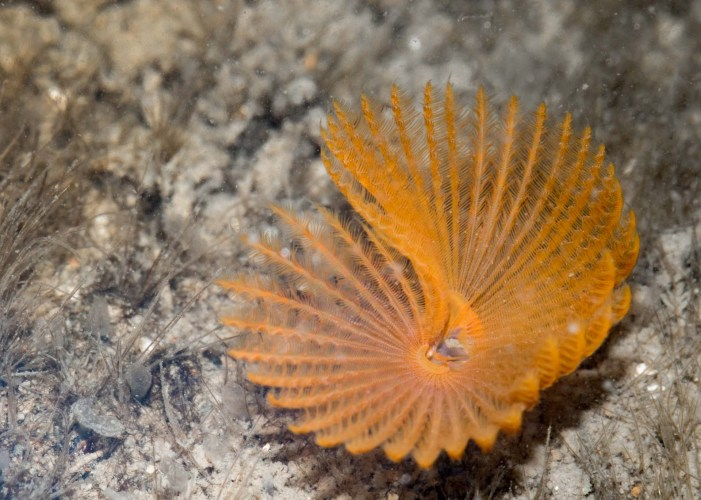 Feather-Duster Worms