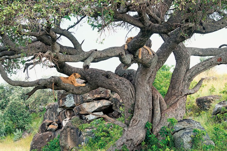 Lions lounging on a tree at the mouth of the famous leopard gorge