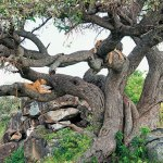 Lions lounging on a tree at the mouth of the famous leopard gorge, Africa