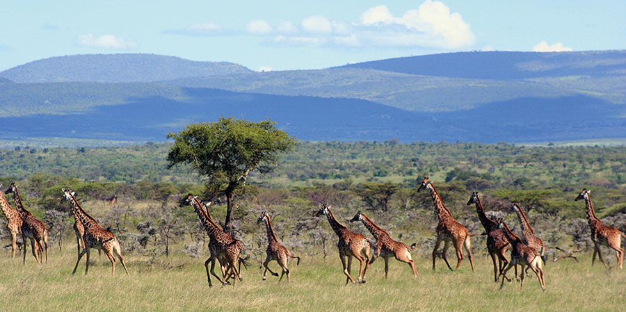 Giraffes, Naboisho camp