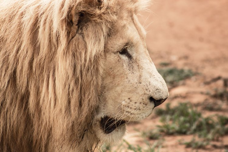 You can observe African lions out on the veld at the Lion Park, a 45-minute drive from Johannesburg