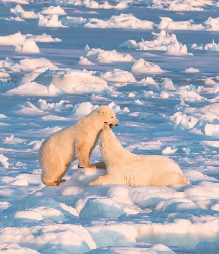 A female bear and cub at sunset