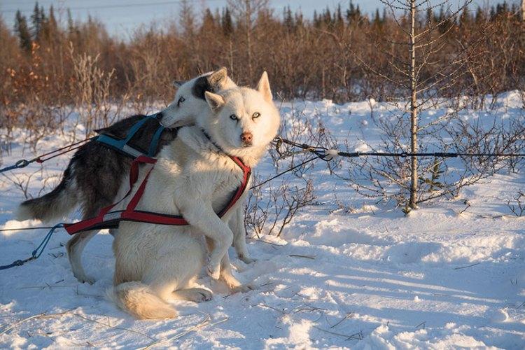 Alaskan huskies leading a dog sled at Churchill