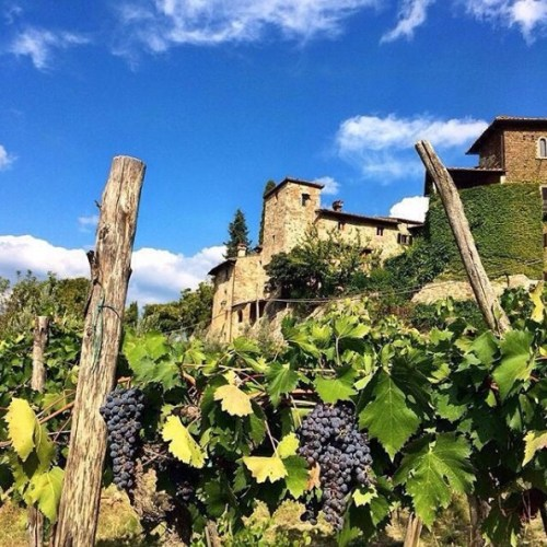 Chianti grapes ripe for harvest