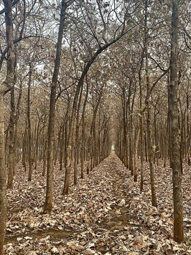 A teak forest with symmetrically planted trees