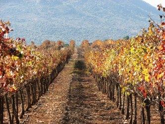 Phot Kayoumi vineyard