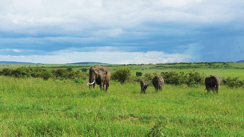 Elephants roam the Savannah