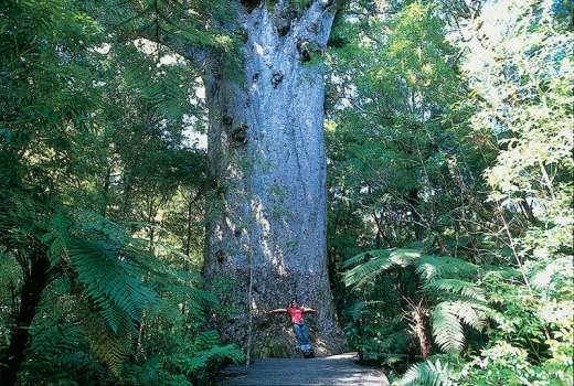 A Yakas Kauri Tree In The Waipoua Forest