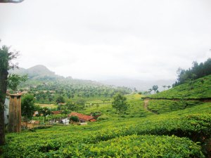 Tea gardens: expansive view