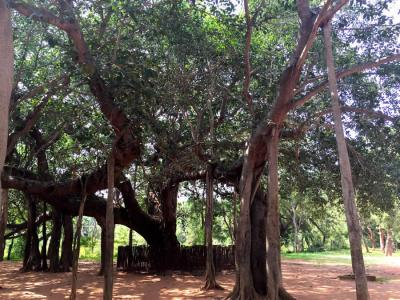 The Banyan Tree at Matru Mandir, Auroville