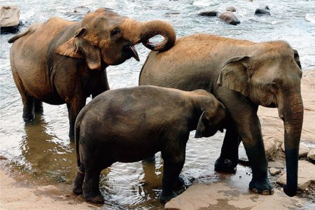 Elephants at their watering hole at the Pinnawala Orphanage