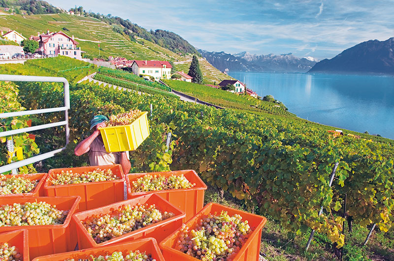 Switzerland, Grape harvesting in Lavaux