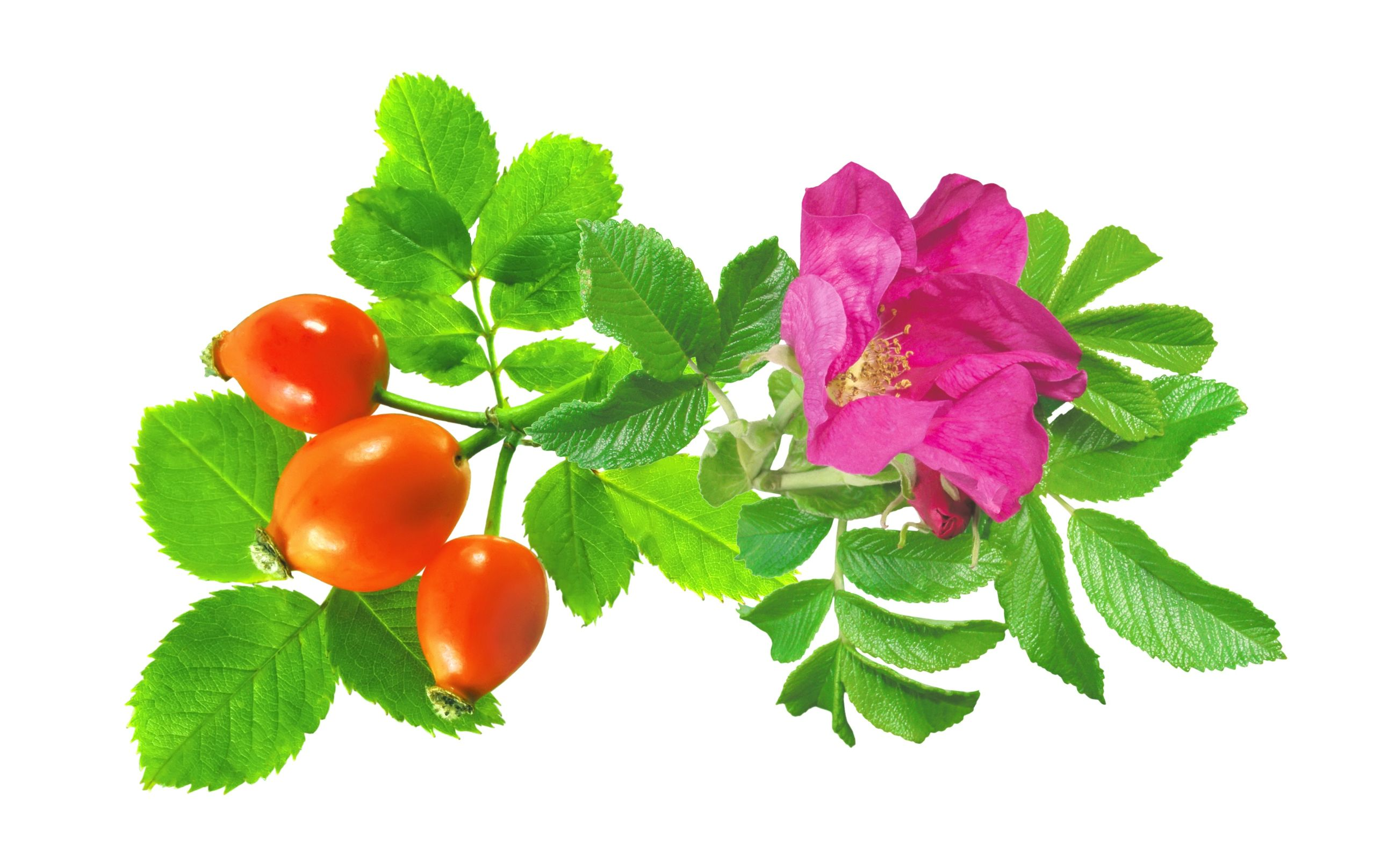 rosehip oil beauty ingredient