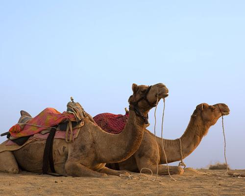 Camels awaiting their passengers, Jaisalmer