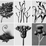 Karl Blossfeldt's Art Forms in Nature Tarq Art Gallery
