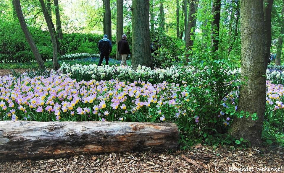 Botanische tulpen, mijn favoriet