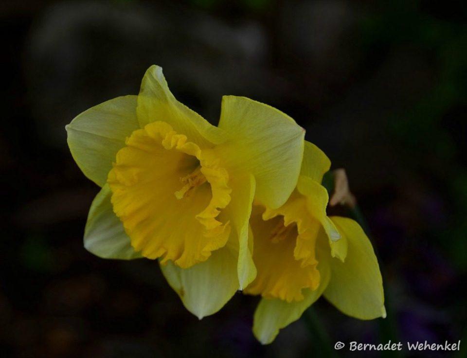 Narcissen uit eigen tuin