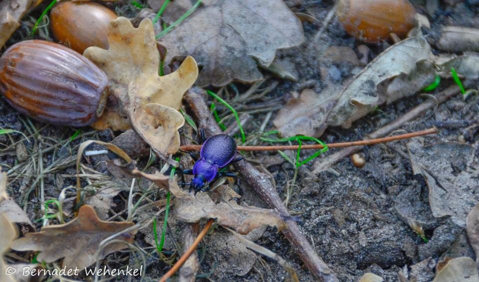 Een paarse kever