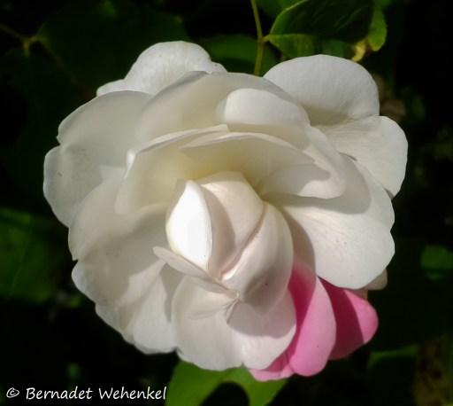niet zomaar een roos